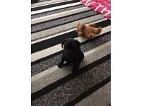 2 male patterdale x welsh terrier pups, ready to go 14th july