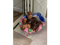 Beautiful dachshund puppies