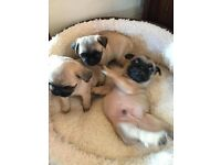 chunky pug pups kc registered