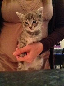 Grey Part Bengal Kitten