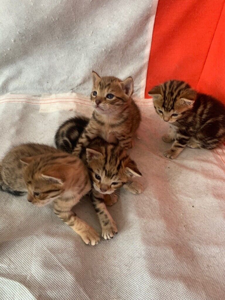 4 Bengal Kittens For Sale In Enfield London Gumtree