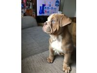 2 girls from 14 leftREDUCED PRICE British bulldog puppies