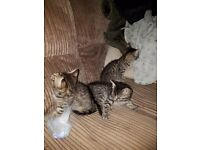 Half bengal kittens 9 weeks old ready to leave now £120 each