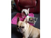 French Bulldog Puppies 4 female & 2 males available £1100 male-£1300 female