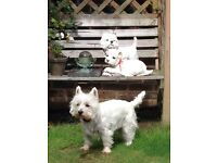 Country Artists puppy love Westies