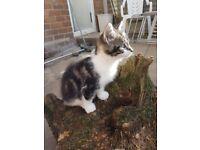 Tabbi kitten
