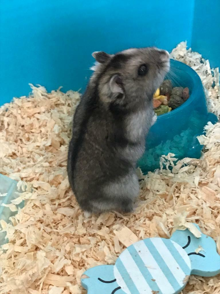 2 Russian dwarf Hamsters with cage and more! | in Newport | Gumtree