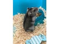 2 Russian dwarf Hamsters with cage and more!