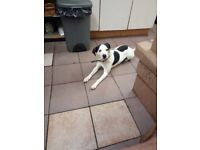 the quietest ever beagle