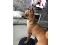 1 year old kc registered male chihuahua