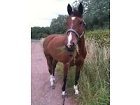 Fantastic 16hh Irish Sports Horse for part loan