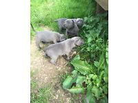Beautiful Kc registered blue Bronson staff puppies for sale