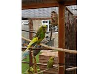 Exhibition type Budgies for sale