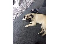 Pug for sale 8 months old male fully vac microchipped great with kids and dogs