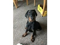 Handsome Dobermann Boy Want A Home
