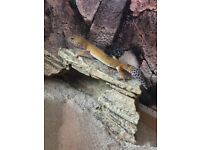 Leopard Gecko with 3ft Vivarium