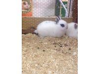 netherand dwarf baby rabbit - female