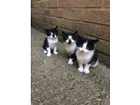 3 lovely kittens for sale