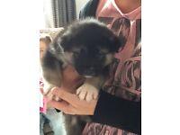 Gorgeous Akita pups