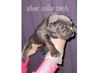 American pocket bully puppies ABKC