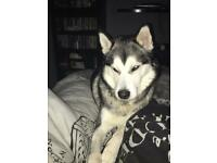Siberian husky | Dogs & Puppies for Sale - Gumtree