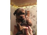 Beautiful Lharkie puppies - Lhas apso x Yorkie