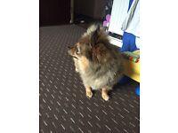 Loyal loveable Pomeranian Chihuahua.