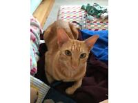 Free to deserving home, beautiful friendly ginger boy!