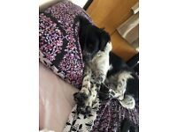 Sadly re homing our gorgeous boy Billy. Collie cross spaniel. Well behaved. House trained.