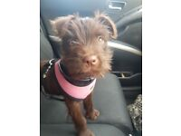 Chocolate female patterdale terrier pup