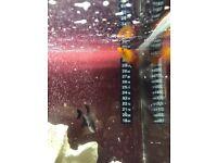 Tropical fish phantom tetra platy