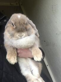 Pure breed mini lop female rabbit with blue eyes