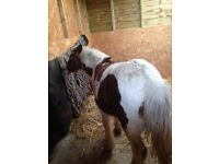 For sale 7 month old filly