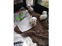 Bichon Frise Puppy KC Registered 1 Male
