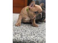 French bulldog KC puppies ⭐️⭐️⭐️⭐️⭐️
