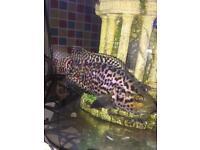 Jaguar cichlid