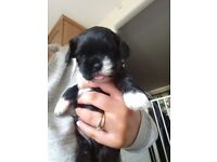 Shih-poo puppy.. 1 left.. boy