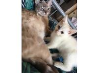 White Male Kitten