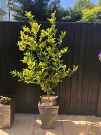 1X 4ft EXTRA LARGE MAGNOLIA STELLATA PLANT TREE - WHITE FLOWERS & POT