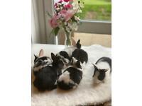 Gorgeous Netherland Dwarf bunnies