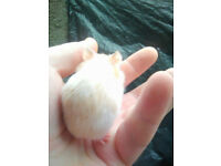 female syrian hamster white and cinnamon 3 of 3