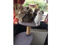 Beautiful quarter Persian, quarter Maine Coon and half Tabby kittens