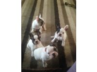 Beautiful home reared French bulldog puppies ready to leave