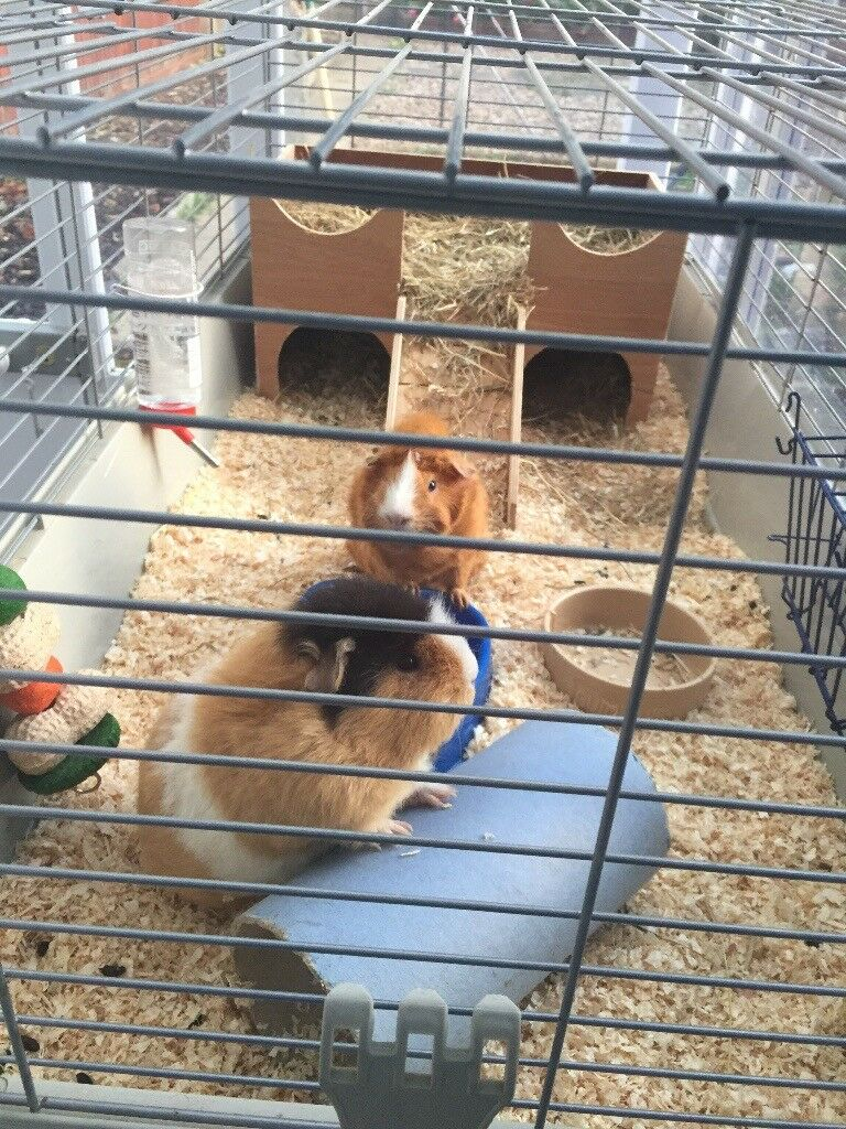 2 Female Guinea Pigs including cage and stand.