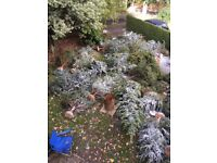 All sizes of pine trees christmas trees GREAT PRICE MUST SELL NOW
