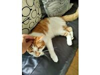 Missing Cat around Saughton Edinburgh, Ginger White Male
