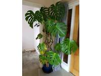 Monstera Deliciosa Indoor Cheese Monster Plant Tree