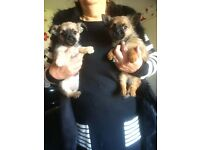 Chihuahua x Yorkie puppies for sale