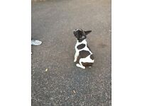 4 months old Blue and white mix French Bulldog for sale