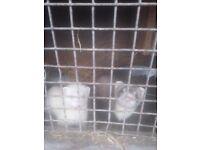 Ferrets for sale. 10weeks old